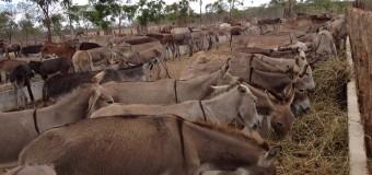 Somente 8% dos animais apreendidos em estradas do Ceará são resgatados pelos seus donos