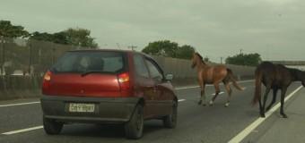 Cavalos soltos em rodovias colocam em risco motoristas